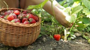 stock-footage-child-picking-fresh-strawberry-on-smallholder-farm